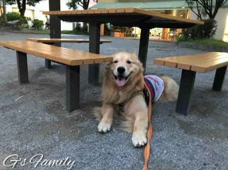 公園で休憩するゴールデン・レトリーバーセナ5歳6ヶ月