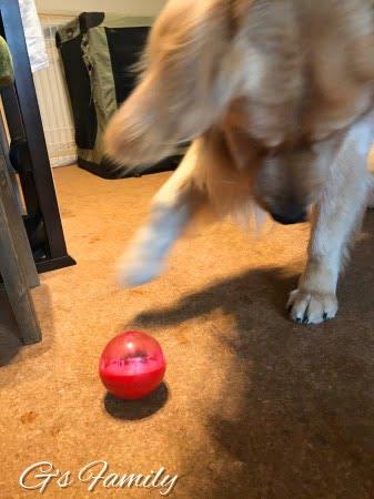 ドギーマンのIQボールで遊ぶゴールデン・レトリーバーセナ