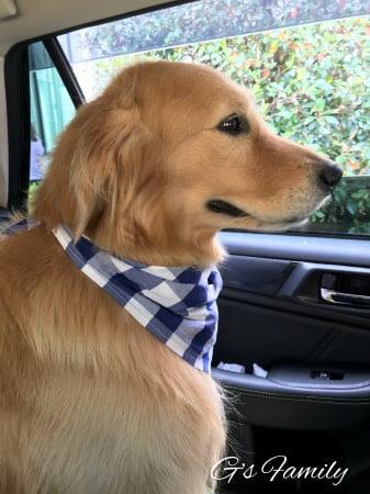 ドライブするゴールデン・レトリーバーセナ5歳7ヶ月