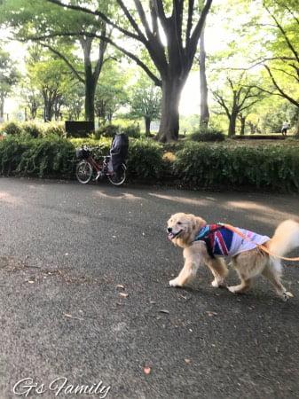 公園を散歩するゴールデン・レトリーバーセナ5歳7ヶ月