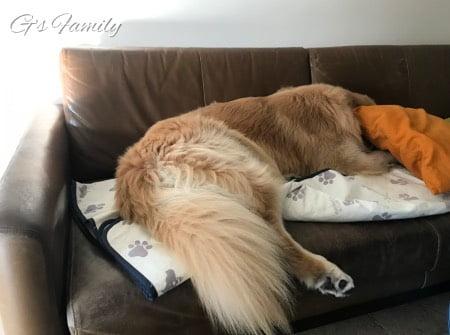 ソファで寝るゴールデン・レトリーバーセナ5歳7ヶ月