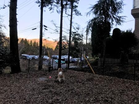レジーナ箱根仙石原のドッグランで遊ぶゴールデン・レトリーバーセナ