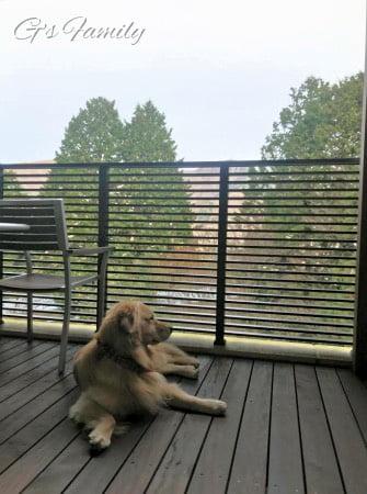 レジーナ箱根仙石原の朝食のあとテラスでくつろぐゴールデン・レトリーバーセナ