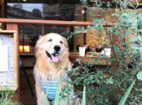 ゴールデン・レトリーバーセナのカフェタイム5歳8ヶ月