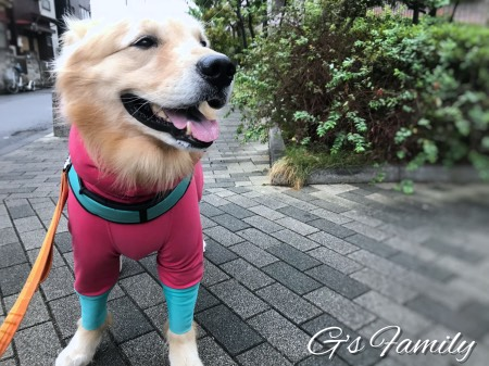 ゴールデン・レトリーバーセナ5歳9ヶ月雨の散歩