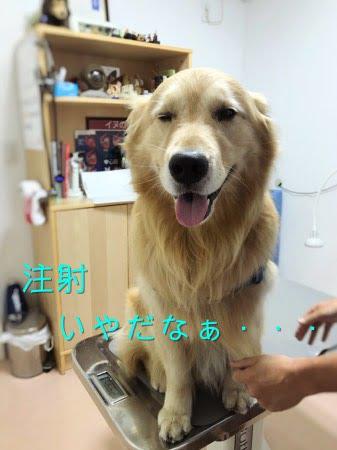 動物病院でサイトポイントの注射を受けるゴールデン・レトリーバーセナ