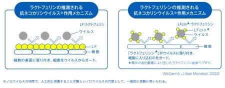 ラクトフェリンの抗菌作用と抗ウイルス作用
