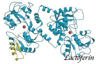 ラクトフェリンの構造図