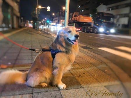 ゴールデン・レトリーバーセナ5歳9ヶ月の夜散歩