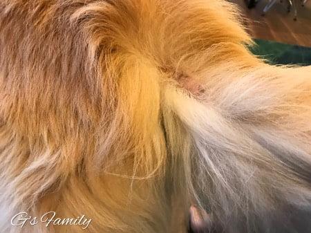 尻尾を噛み壊してから3週間後の状態