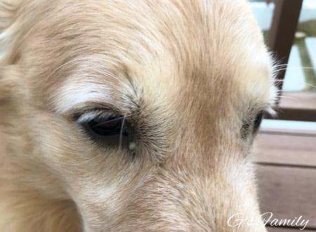 犬の結膜炎(黄色い目やに)