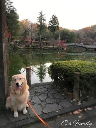 紅葉している公園をお散歩するゴールデン・レトリーバーセナ5歳11ヶ月