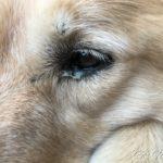 ゴールデン・レトリーバーセナ、黄色い目やに(結膜炎)
