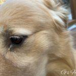ゴールデン・レトリーバーセナ6歳黄色い目やにの治療