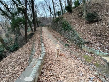 公園散歩を楽しむゴールデン・レトリーバーセナ6歳0ヶ月