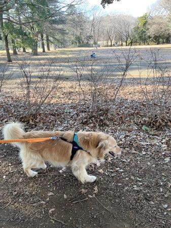 公園で散歩するゴールデン・レトリーバーセナ6歳