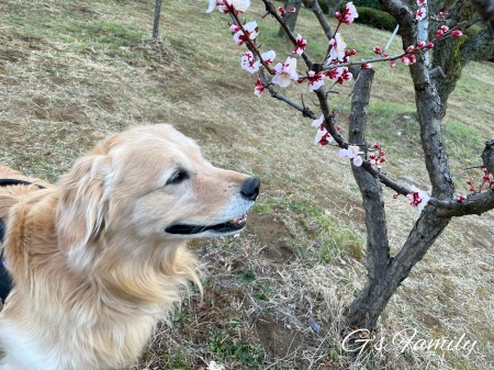 梅を嗅ごうとするセナ