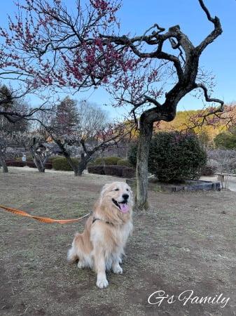 梅の木とゴールデン・レトリーバーセナ6歳2ヶ月