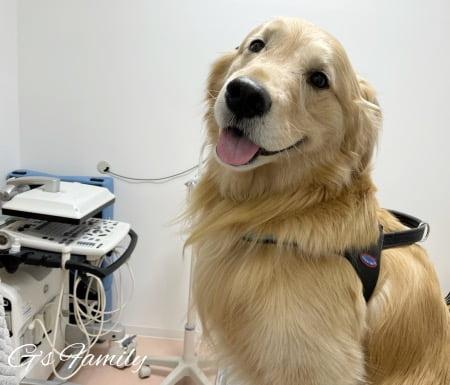 ゴールデン・レトリーバーセナ6歳2ヶ月サイトポイントの注射