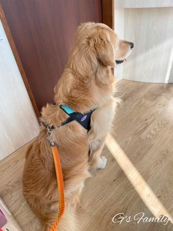 動物病院で診察を待つゴールデン・レトリーバーセナ(黄色い目やにの治療)