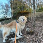 ゴールデン・レトリーバーセナ6歳1ヶ月といつものお散歩