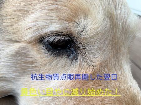 犬の黄色い目やにの治療「抗生物質点眼の翌日の経過」