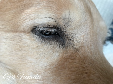 犬の黄色い目やにの治療「抗生物質点眼を1週間した後完治」