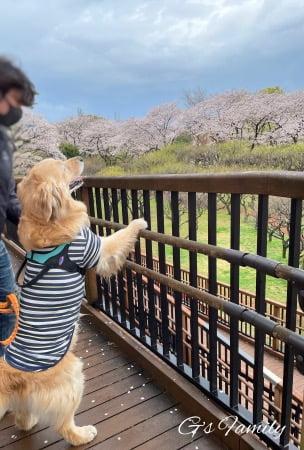 満開の桜とゴールデン・レトリーバーセナ6歳3ヶ月