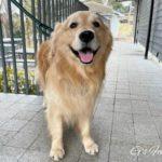 お散歩でカフェタイムを楽しむゴールデン・レトリーバーセナ6歳2ヶ月
