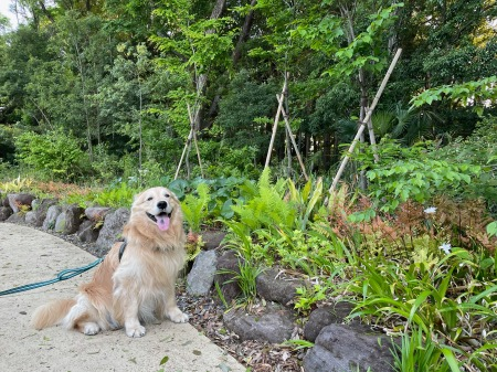 公園散歩にてゴールデン・レトリーバーセナ6歳4ヶ月