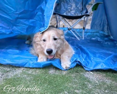 自宅でキャンプテントに入るゴールデン・レトリーバーセナ6歳3ヶ月