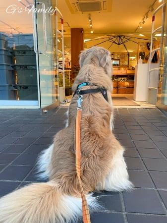 お店の外でパパを待つゴールデン・レトリーバーセナ6歳5ヶ月