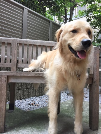 変な座り方をするゴールデン・レトリーバーセナ1歳5ヶ月