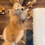ゴールデン・レトリーバーセナ6歳5ヶ月お腹を壊しているので家でおもちゃ遊び