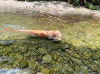 今年初川遊びGolden Retrieverセナ6歳5ヶ月