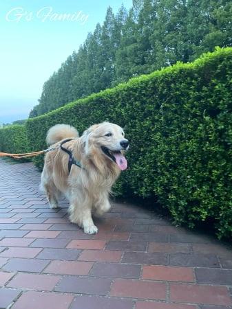 お散歩をするゴールデン・レトリーバーセナ6歳7ヶ月