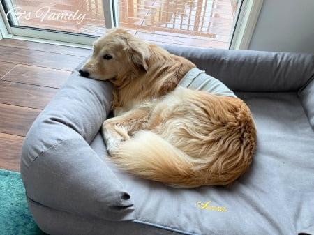 雨の日ベッドで休むゴールデン・レトリーバーセナ6歳7ヶ月
