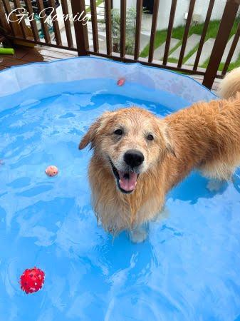 ゴールデン・レトリーバーセナ6歳8ヶ月おうちプール
