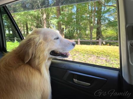 ドライブを楽しむゴールデン・レトリーバーセナ6歳8ヶ月